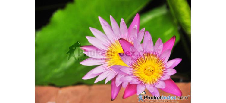 ดอกบัวสายสีชมพู