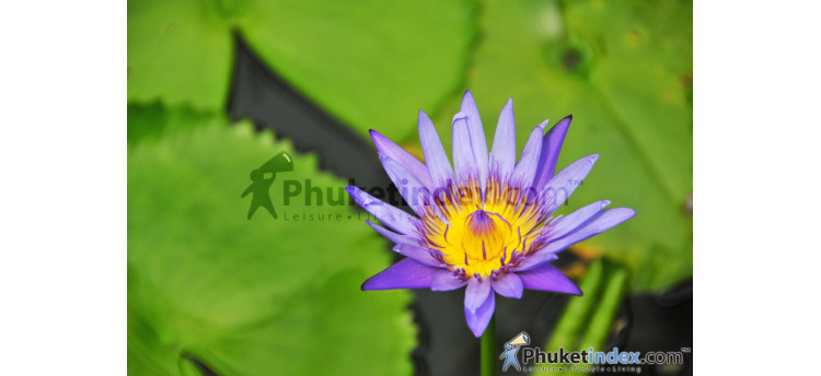 ดอกบัวสายสีม่วง