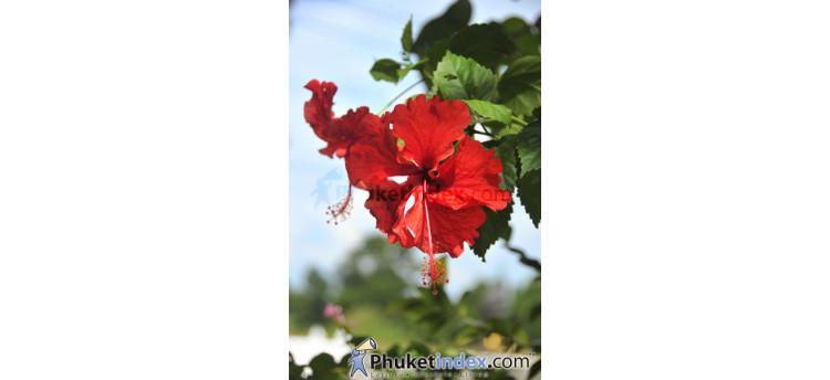 ดอกชบาสีแดง
